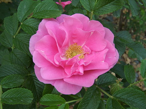 Growing Roses In The Pacific Northwest Bayview Farm And Garden