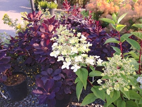 Lacecap Hydrangea in front of a Purple Smoke Bush