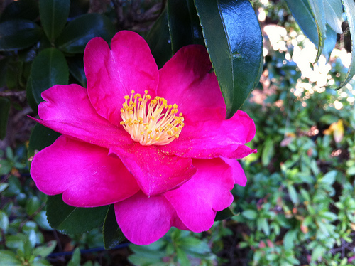 Camellia Kim Ubert via flickr